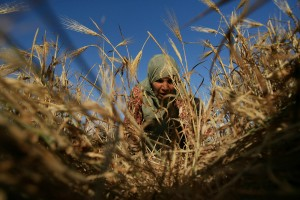 A Palestinian woman harvests wheat on a farm near the southern Gaza Strip city of Khan Younis